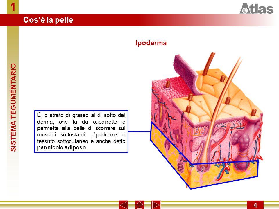 1 4 È lo strato di grasso al di sotto del derma, che fa da cuscinetto e permette alla pelle di scorrere sui muscoli sottostanti. Lipoderma o tessuto s