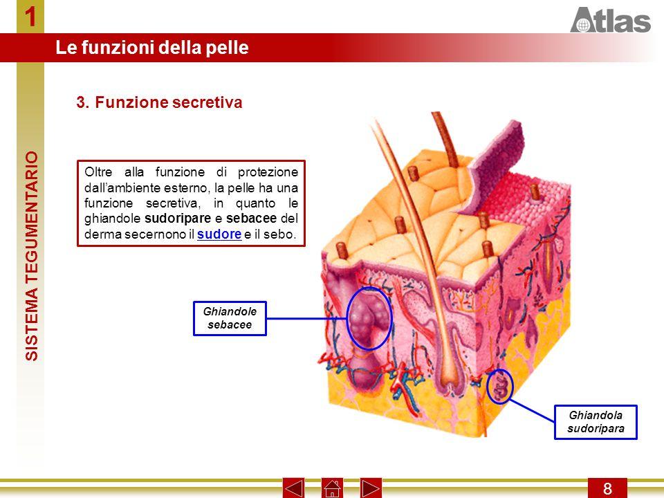 1 8 Oltre alla funzione di protezione dallambiente esterno, la pelle ha una funzione secretiva, in quanto le ghiandole sudoripare e sebacee del derma secernono il sudore e il sebo.sudore 3.