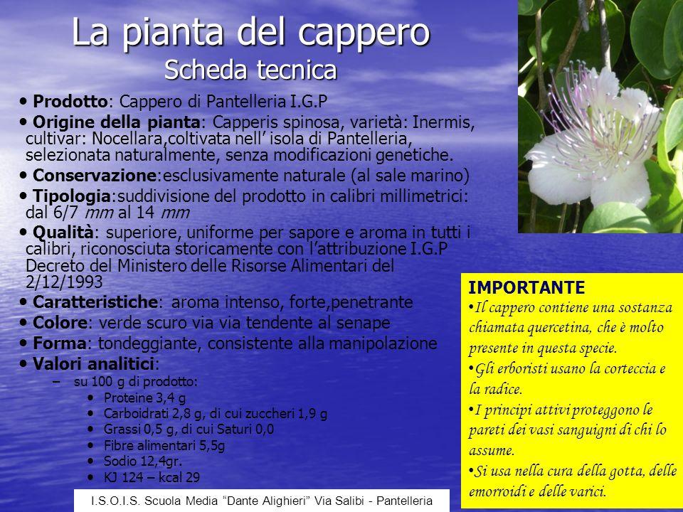La pianta del cappero Scheda tecnica Prodotto: Cappero di Pantelleria I.G.P Origine della pianta: Capperis spinosa, varietà: Inermis, cultivar: Nocell