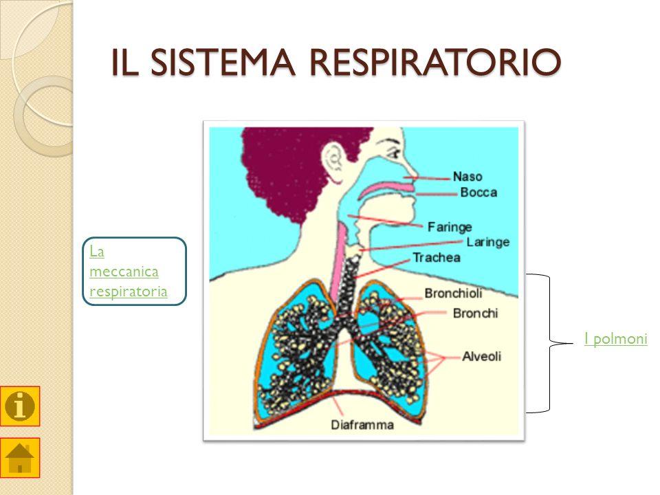 IL SISTEMA RESPIRATORIO I polmoni La meccanica respiratoria