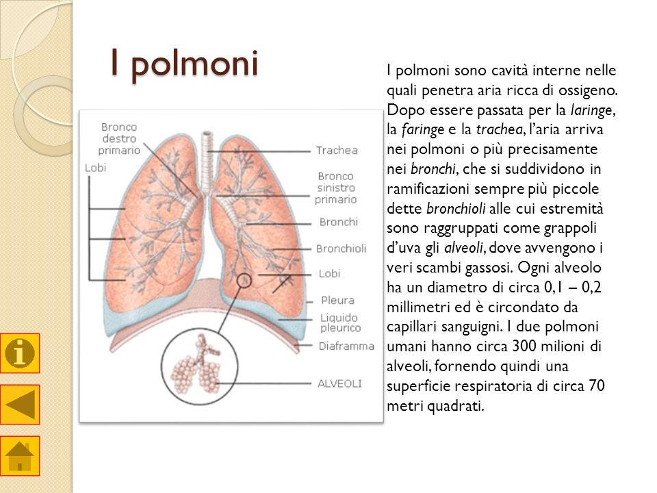 I polmoni I polmoni sono cavità interne nelle quali penetra aria ricca di ossigeno. Dopo essere passata per la laringe, la faringe e la trachea, laria