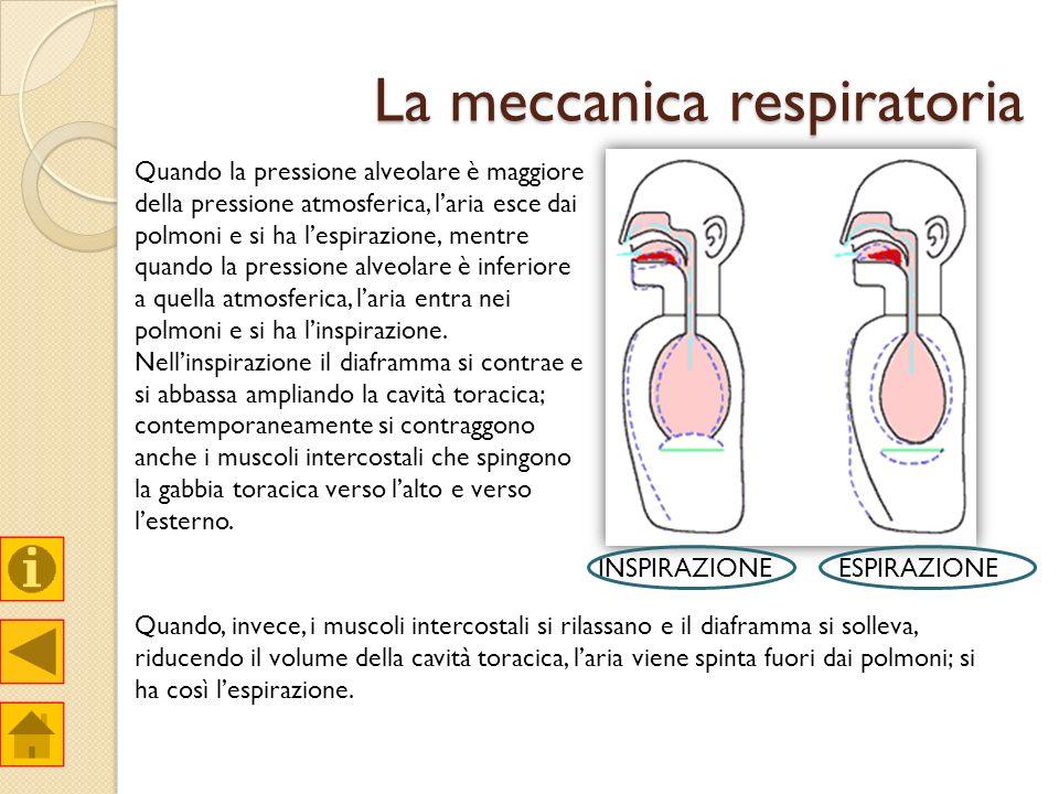 La meccanica respiratoria Quando la pressione alveolare è maggiore della pressione atmosferica, laria esce dai polmoni e si ha lespirazione, mentre qu