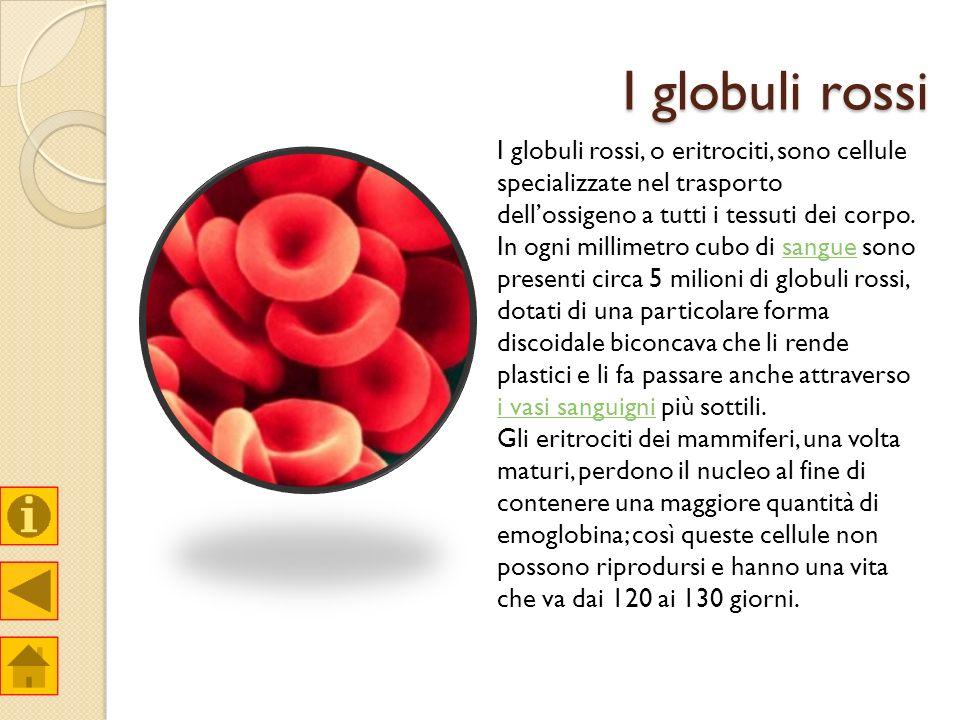 I globuli rossi I globuli rossi, o eritrociti, sono cellule specializzate nel trasporto dellossigeno a tutti i tessuti dei corpo. In ogni millimetro c