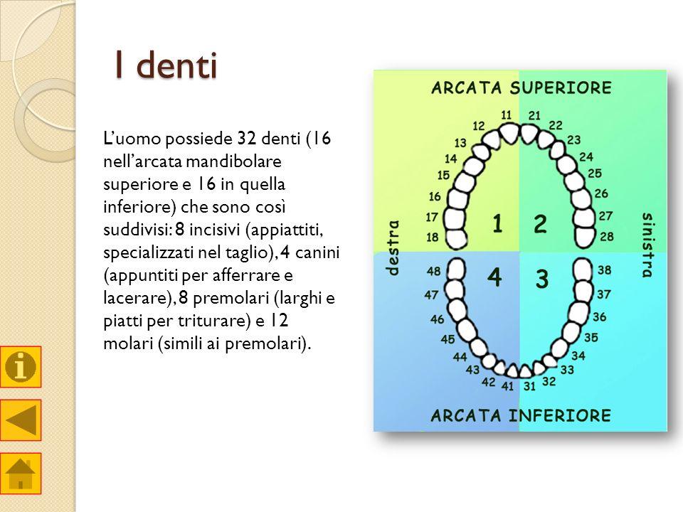 I denti Luomo possiede 32 denti (16 nellarcata mandibolare superiore e 16 in quella inferiore) che sono così suddivisi: 8 incisivi (appiattiti, specia
