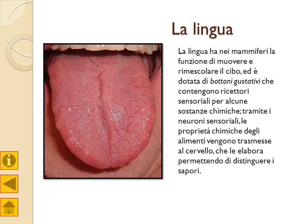La lingua La lingua ha nei mammiferi la funzione di muovere e rimescolare il cibo, ed è dotata di bottoni gustativi che contengono ricettori sensorial