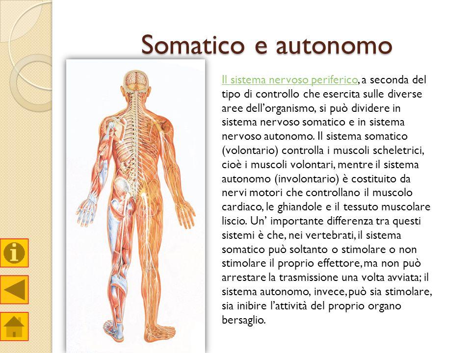 Somatico e autonomo Il sistema nervoso perifericoIl sistema nervoso periferico, a seconda del tipo di controllo che esercita sulle diverse aree dellor