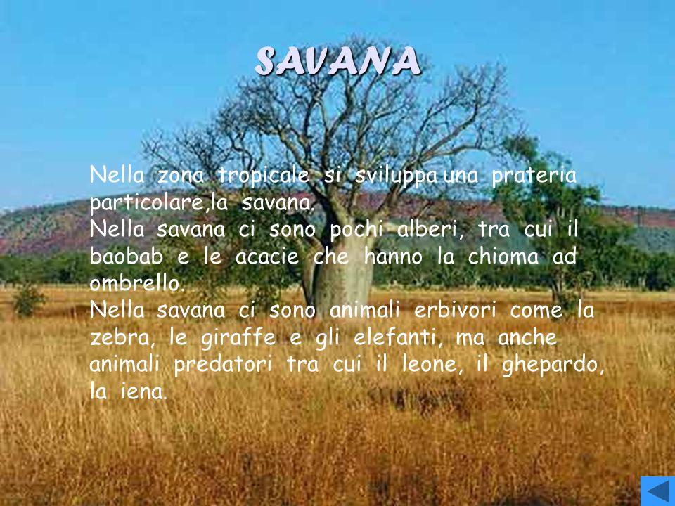 GRANDI PRATERIE Le grandi distese derba del nord sono dette praterie,a sud sono chiamate Pampas, quelle asiatiche sono chiamate steppe,