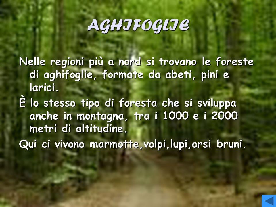 LATIFOGLIE Le foreste di latifoglie sono formate da alberi che in autunno perdono le foglie,come faggi,pioppi,castagni e querce.