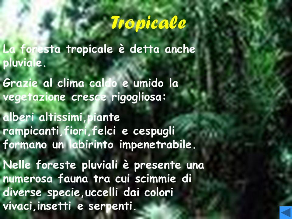 AGHIFOGLIE Nelle regioni più a nord si trovano le foreste di aghifoglie, formate da abeti, pini e larici. È lo stesso tipo di foresta che si sviluppa