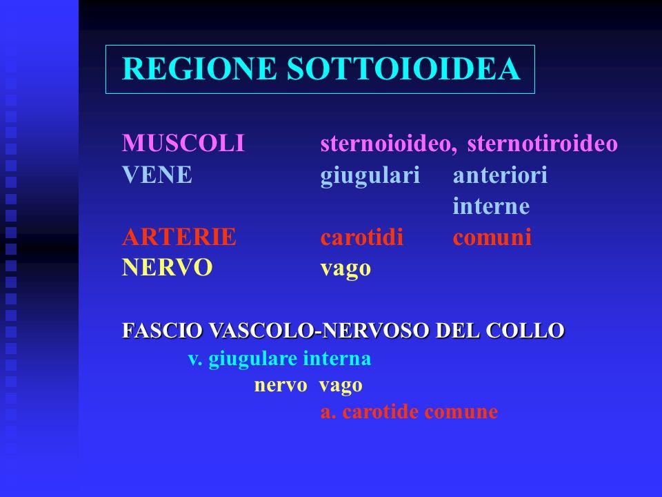REGIONE SOTTOIOIDEA MUSCOLIsternoioideo, sternotiroideo VENEgiugularianteriori interne ARTERIEcarotidi comuni NERVOvago FASCIO VASCOLO-NERVOSO DEL COL