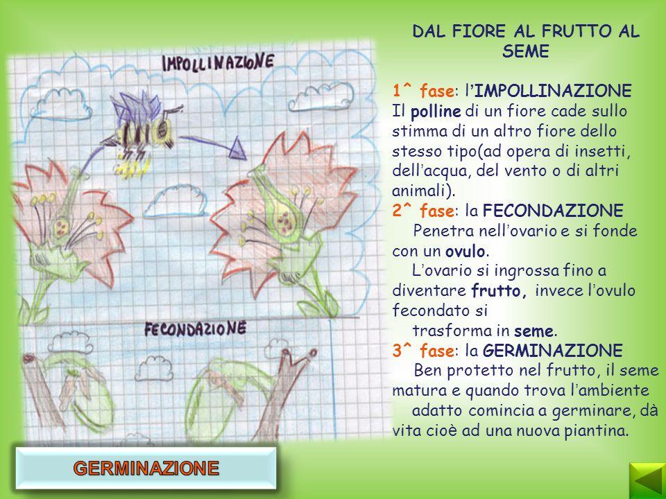 DAL FIORE AL FRUTTO AL SEME 1^ fase: l IMPOLLINAZIONE Il polline di un fiore cade sullo stimma di un altro fiore dello stesso tipo(ad opera di insetti, dell acqua, del vento o di altri animali).