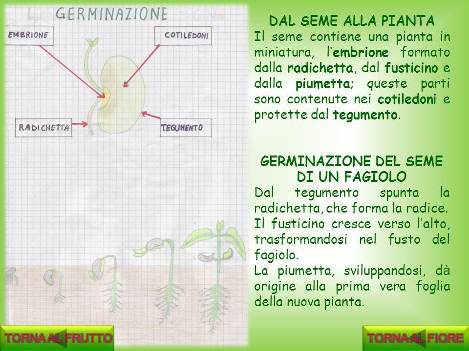 DAL SEME ALLA PIANTA Il seme contiene una pianta in miniatura, l embrione formato dalla radichetta, dal fusticino e dalla piumetta; queste parti sono