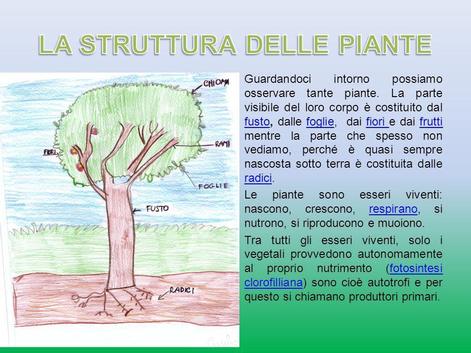 Il fusto è la parte fondamentale della pianta la sostiene e ne contiene i canali linfatici attraverso i quali trasporta lacqua ed i sali minerali ai rami ed alle foglie.pianta