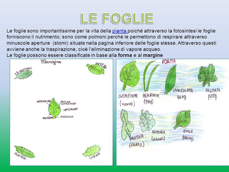 Le foglie sono importantissime per la vita della pianta poiché attraverso la fotosintesi le foglie forniscono il nutrimento; sono come polmoni perché