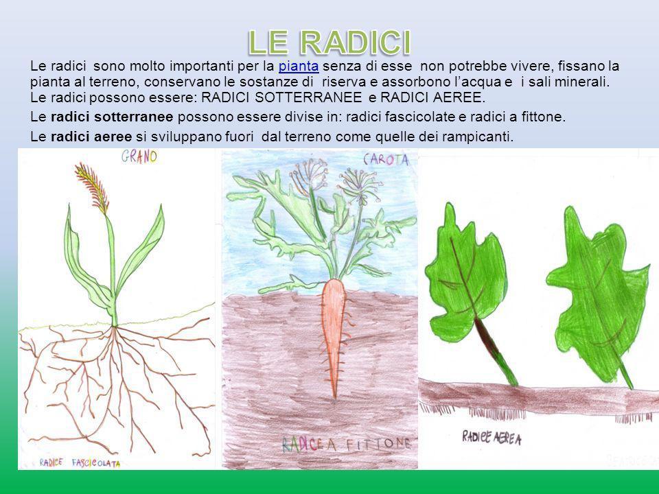 Le radici sono molto importanti per la pianta senza di esse non potrebbe vivere, fissano la pianta al terreno, conservano le sostanze di riserva e ass