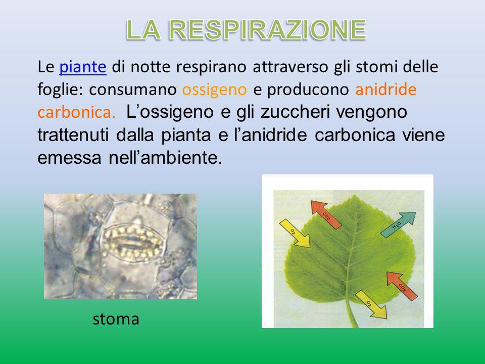 Le piante di notte respirano attraverso gli stomi delle foglie: consumano ossigeno e producono anidride carbonica. Lossigeno e gli zuccheri vengono tr