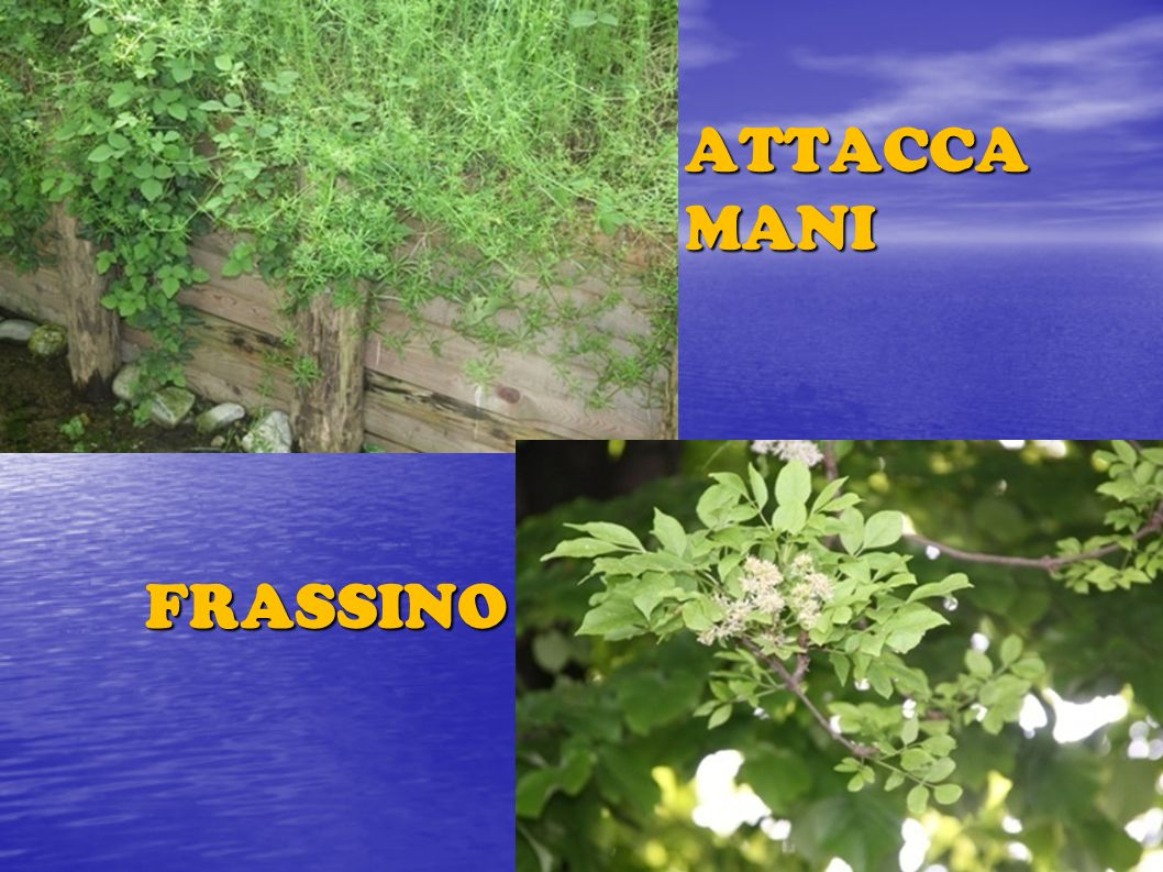 FRASSINO ATTACCA MANI