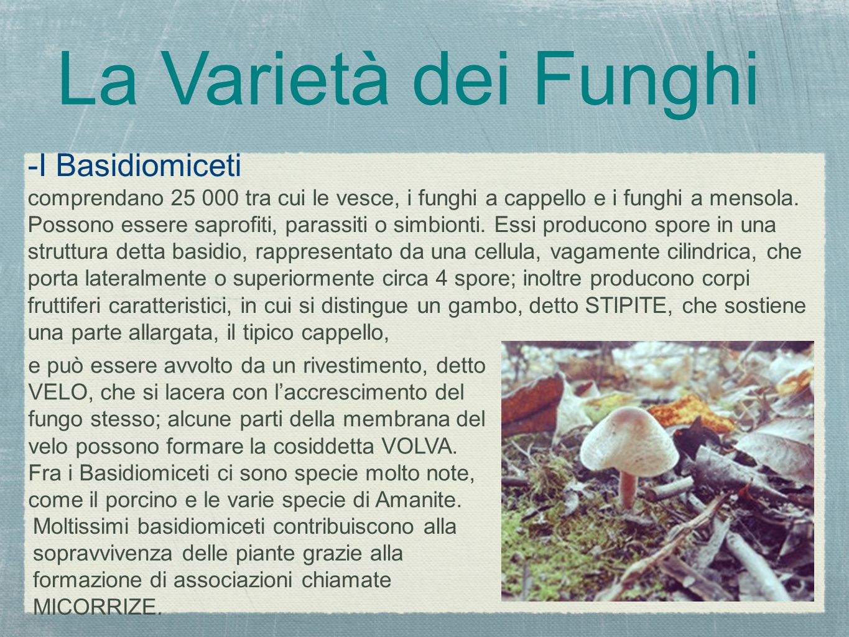 -I Basidiomiceti comprendano 25 000 tra cui le vesce, i funghi a cappello e i funghi a mensola. Possono essere saprofiti, parassiti o simbionti. Essi