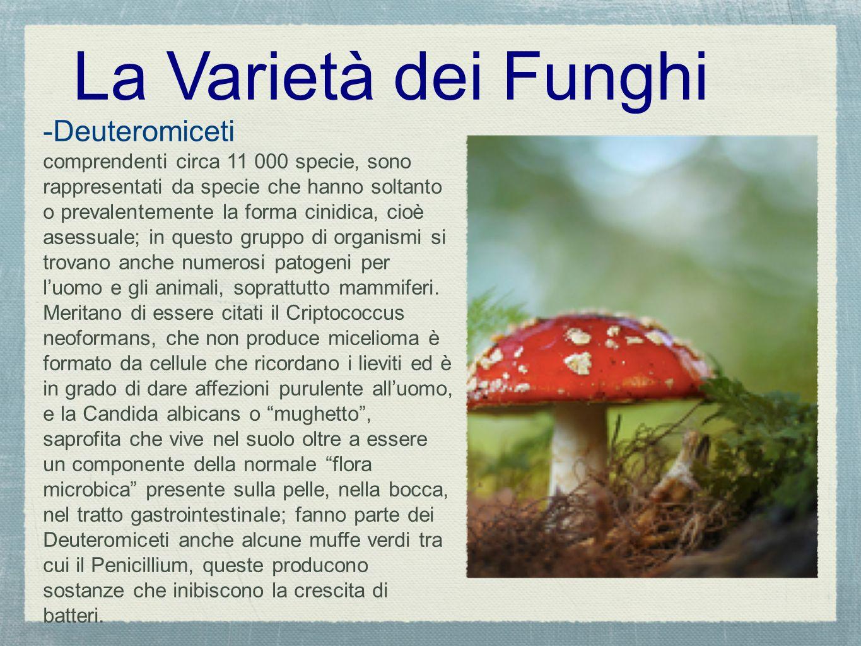 La Varietà dei Funghi -Deuteromiceti comprendenti circa 11 000 specie, sono rappresentati da specie che hanno soltanto o prevalentemente la forma cini