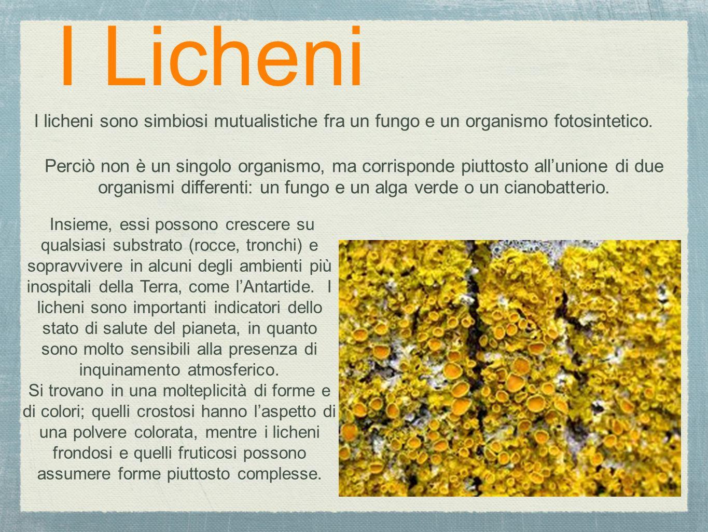 I Licheni I licheni sono simbiosi mutualistiche fra un fungo e un organismo fotosintetico. Insieme, essi possono crescere su qualsiasi substrato (rocc