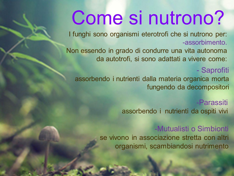 Come si nutrono? I funghi sono organismi eterotrofi che si nutrono per: -assorbimento. Non essendo in grado di condurre una vita autonoma da autotrofi