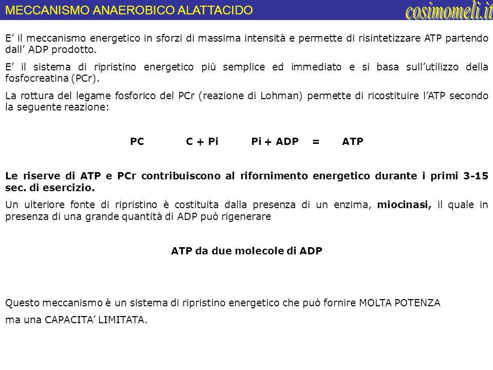 E il meccanismo energetico in sforzi di massima intensità e permette di risintetizzare ATP partendo dall ADP prodotto. E il sistema di ripristino ener