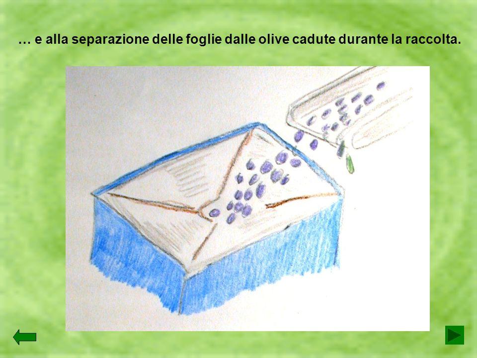 … e alla separazione delle foglie dalle olive cadute durante la raccolta.