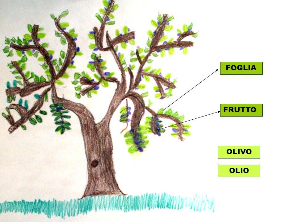 FOGLIA FRUTTO OLIVO OLIO