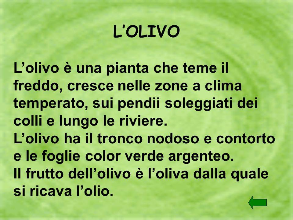 LOLIVO Lolivo è una pianta che teme il freddo, cresce nelle zone a clima temperato, sui pendii soleggiati dei colli e lungo le riviere. Lolivo ha il t