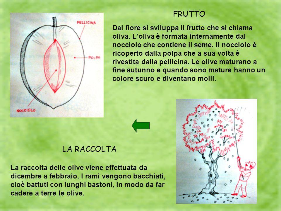 FRUTTO Dal fiore si sviluppa il frutto che si chiama oliva. Loliva è formata internamente dal nocciolo che contiene il seme. Il nocciolo è ricoperto d