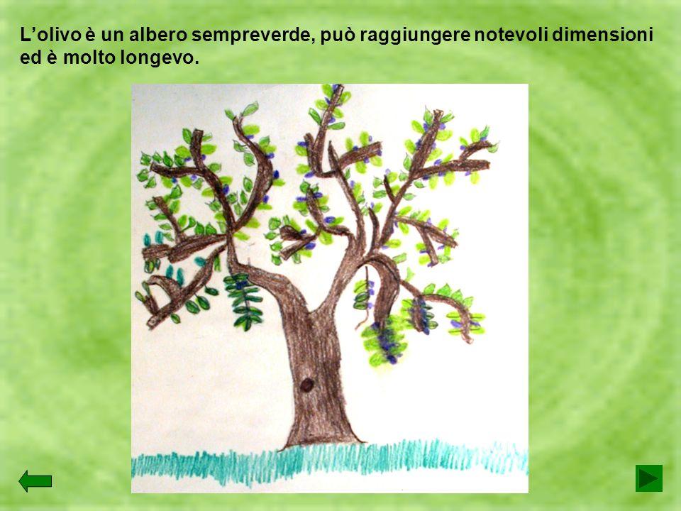Lolivo è un albero sempreverde, può raggiungere notevoli dimensioni ed è molto longevo.