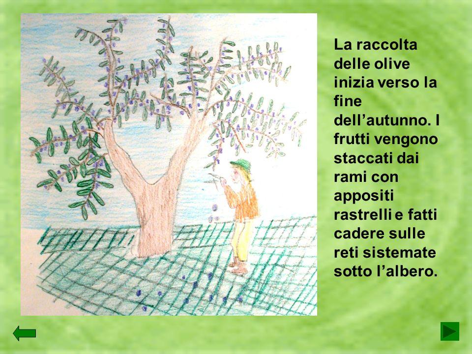 La raccolta delle olive inizia verso la fine dellautunno. I frutti vengono staccati dai rami con appositi rastrelli e fatti cadere sulle reti sistemat