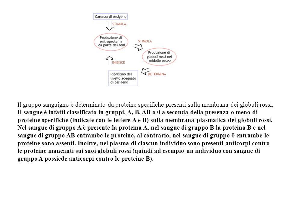 Il gruppo sanguigno è determinato da proteine specifiche presenti sulla membrana dei globuli rossi. Il sangue è infatti classificato in gruppi, A, B,