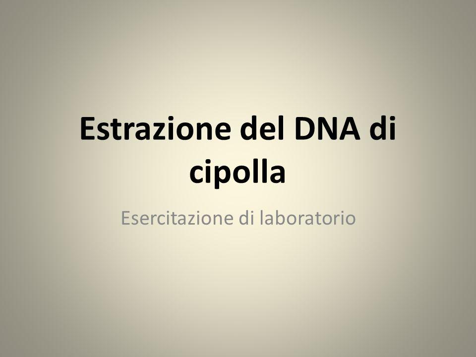 Estrazione del DNA di cipolla Esercitazione di laboratorio