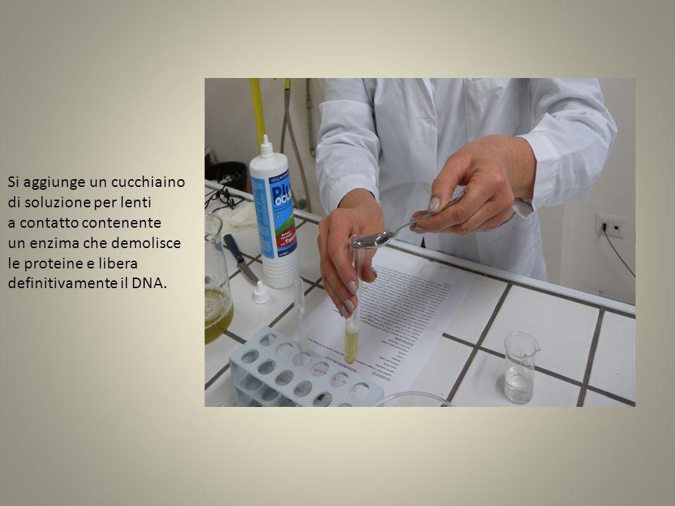 Si aggiunge un cucchiaino di soluzione per lenti a contatto contenente un enzima che demolisce le proteine e libera definitivamente il DNA.