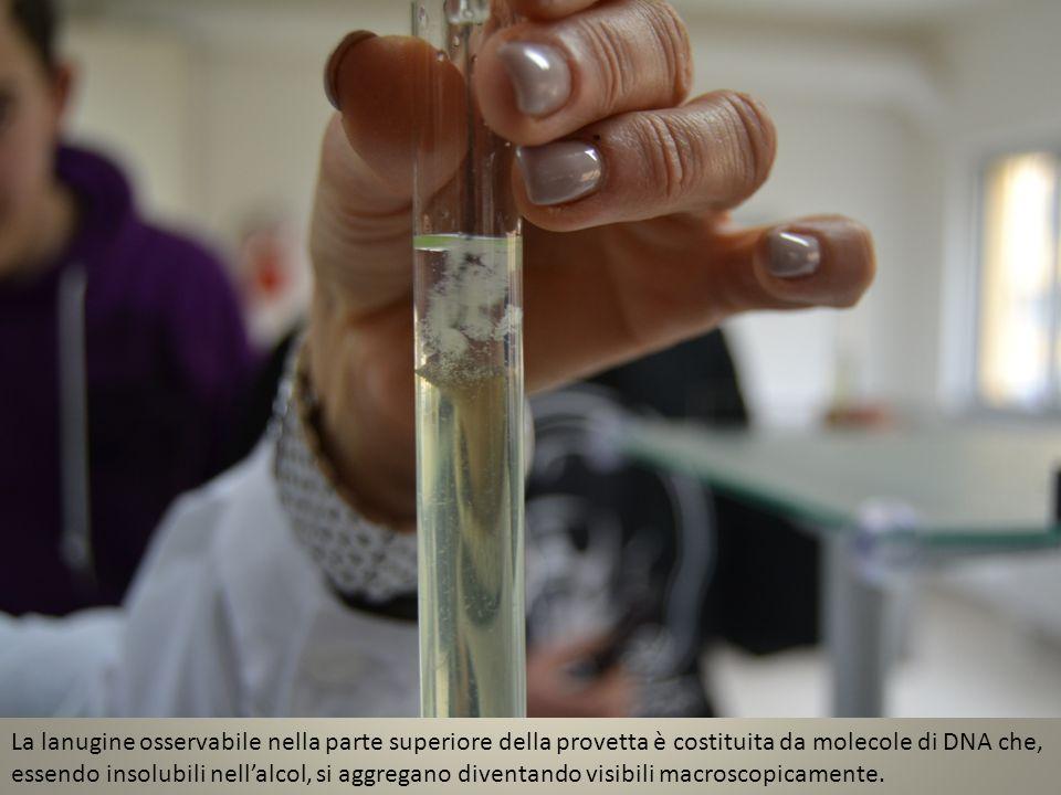 La lanugine osservabile nella parte superiore della provetta è costituita da molecole di DNA che, essendo insolubili nellalcol, si aggregano diventand