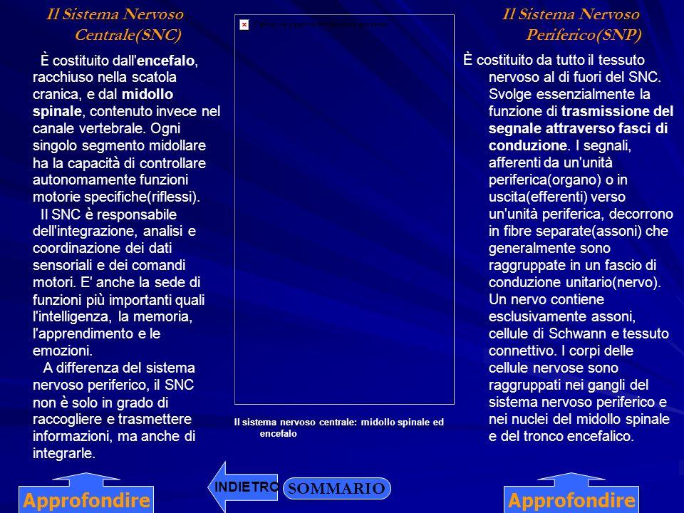 Il Sistema Nervoso Centrale(SNC) Il Sistema Nervoso Periferico(SNP) È costituito dall'encefalo, racchiuso nella scatola cranica, e dal midollo spinale