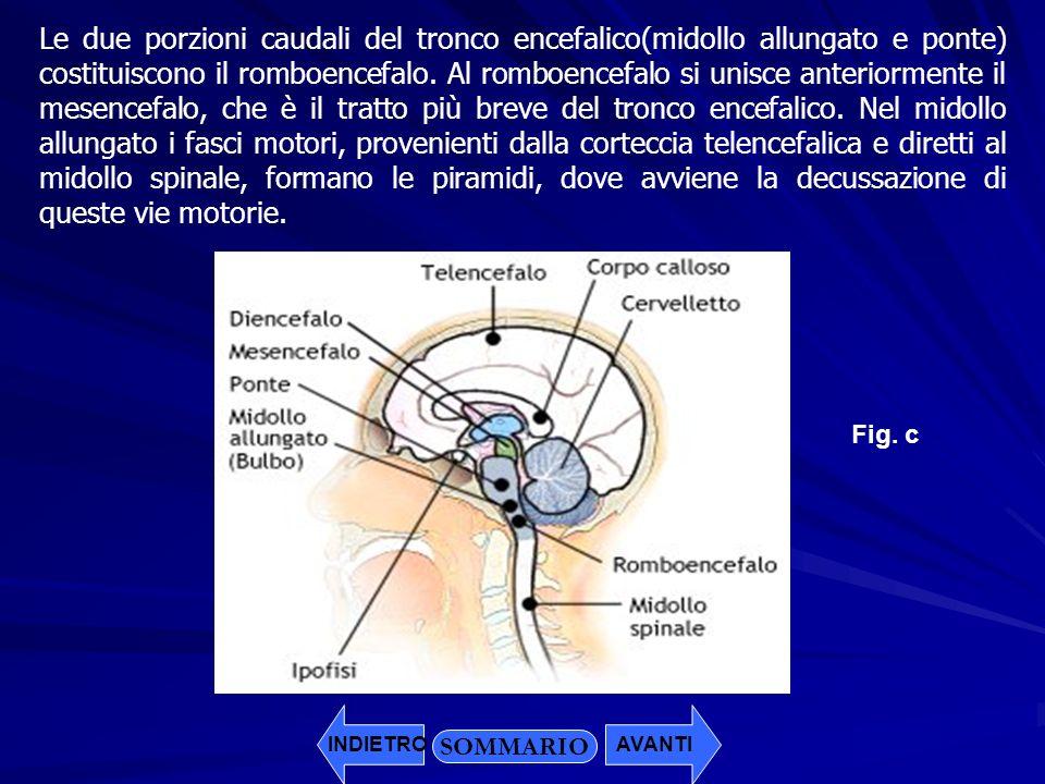 SOMMARIO INDIETROAVANTI Le due porzioni caudali del tronco encefalico(midollo allungato e ponte) costituiscono il romboencefalo. Al romboencefalo si u