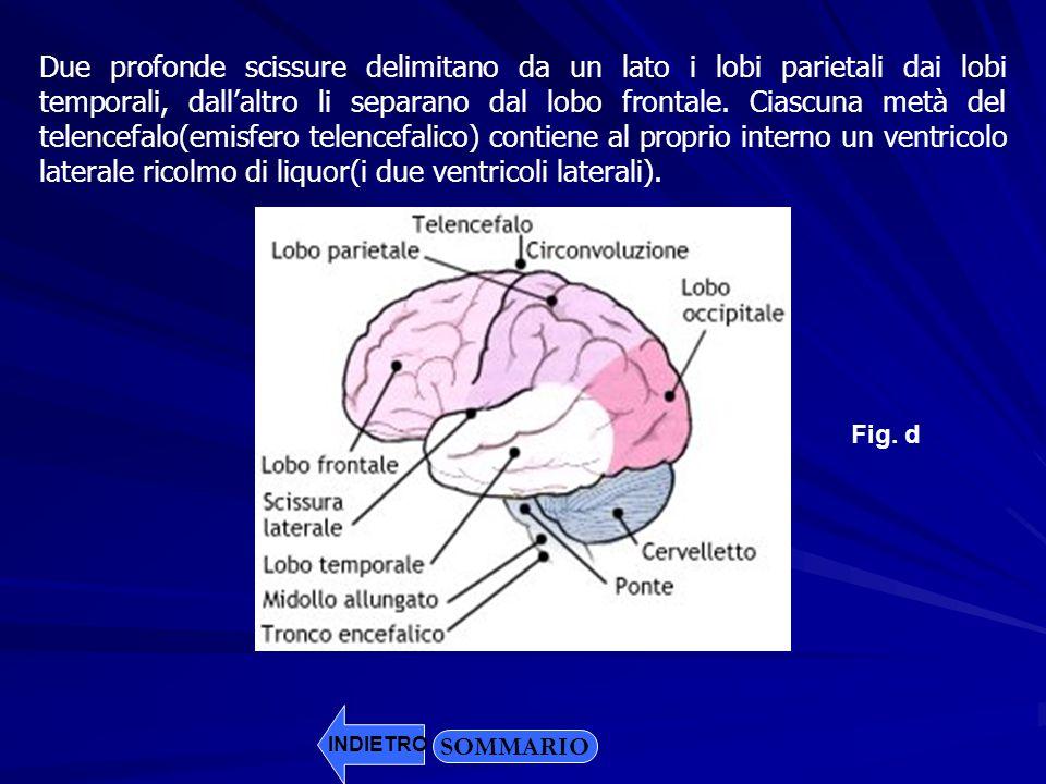 SOMMARIO INDIETRO Due profonde scissure delimitano da un lato i lobi parietali dai lobi temporali, dallaltro li separano dal lobo frontale. Ciascuna m