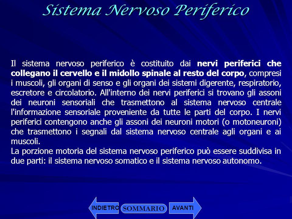 SOMMARIO INDIETROAVANTISistema Nervoso Periferico Il sistema nervoso periferico è costituito dai nervi periferici che collegano il cervello e il midol