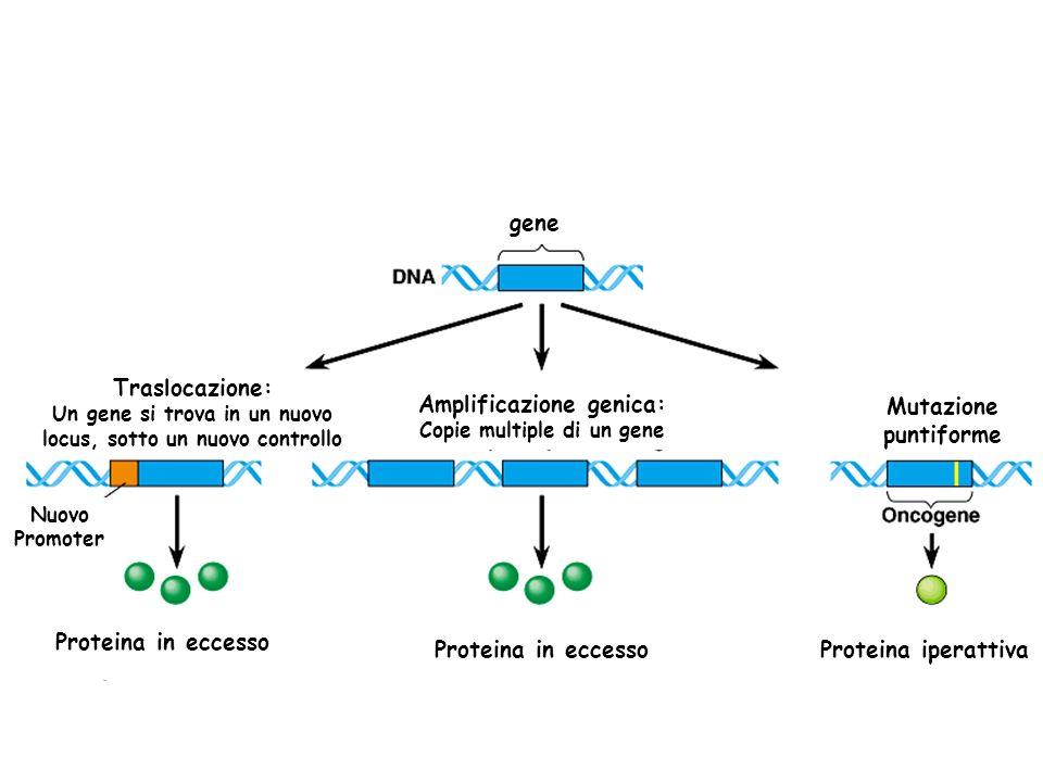 Traslocazione: Un gene si trova in un nuovo locus, sotto un nuovo controllo Amplificazione genica: Copie multiple di un gene Mutazione puntiforme Prot