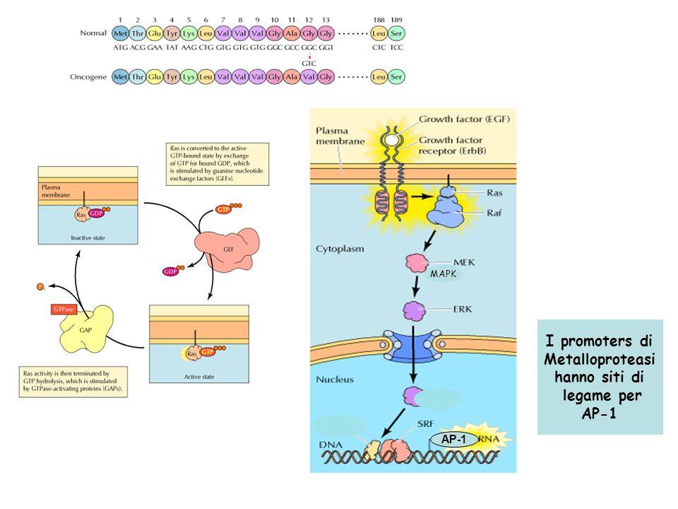 AP-1 I promoters di Metalloproteasi hanno siti di legame per AP-1 MAPK