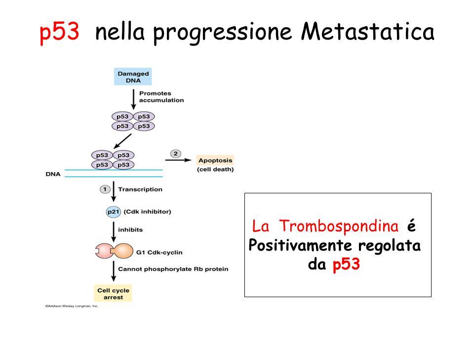 p53 nella progressione Metastatica La Trombospondina é Positivamente regolata da p53