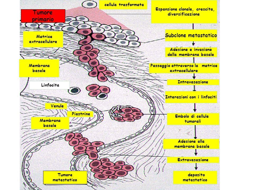 Espansione clonale, crescita, diversificazione cellula trasformata Tumore primario Membrana basale Matrice extracellulare Tumore metastatico Membrana