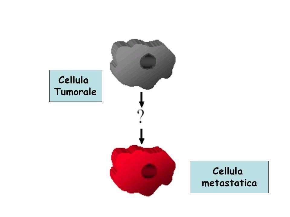 geni antimetastatici Nm23 è ridotto in neoplasie ad elevato potenziale metastatico Bassi livelli di nm23 = Bassa sopravvivenza KISS-1 (metastin): riduce il # di metastasi polmonari E presente ad elevate quantità nella placenta