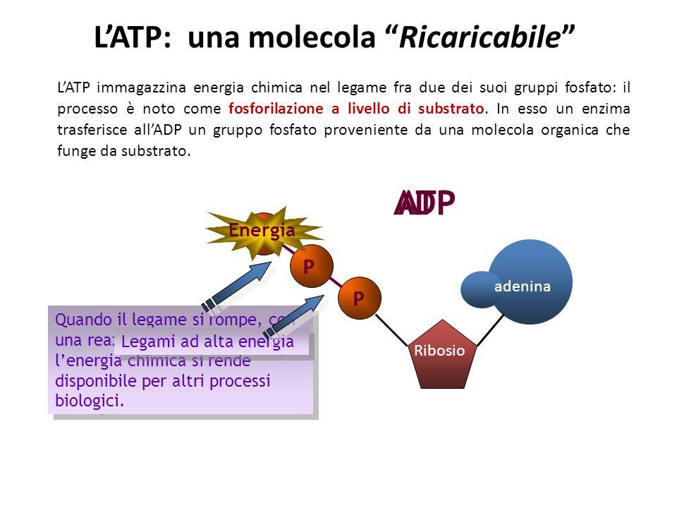 LATP immagazzina energia chimica nel legame fra due dei suoi gruppi fosfato: il processo è noto come fosforilazione a livello di substrato.