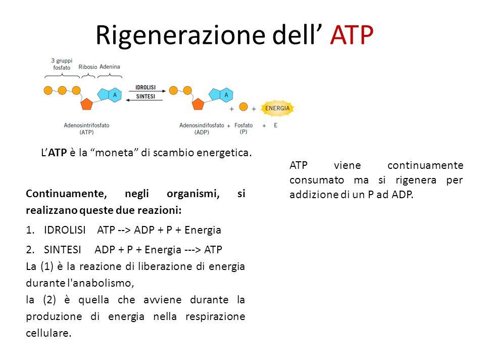 Rigenerazione dell ATP LATP è la moneta di scambio energetica.