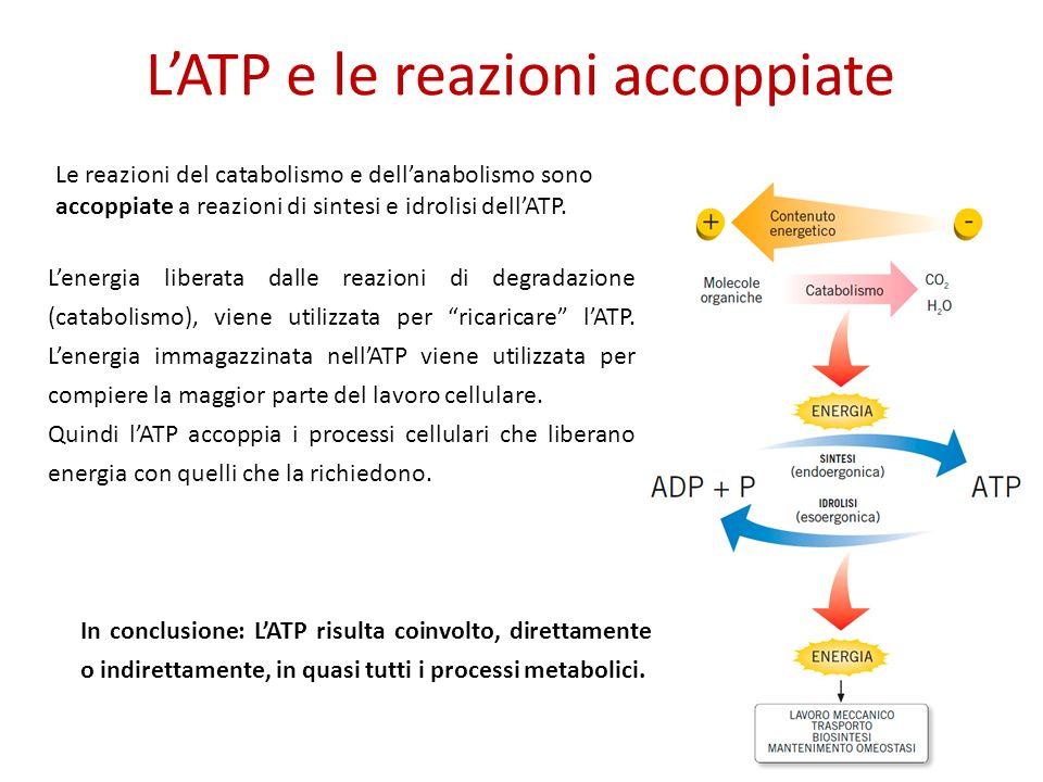 LATP e le reazioni accoppiate Le reazioni del catabolismo e dellanabolismo sono accoppiate a reazioni di sintesi e idrolisi dellATP.