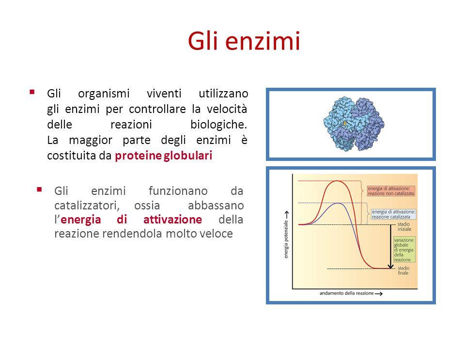 Gli enzimi Gli organismi viventi utilizzano gli enzimi per controllare la velocità delle reazioni biologiche.