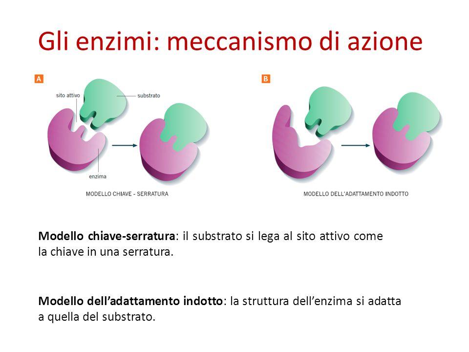 Gli enzimi: meccanismo di azione Modello delladattamento indotto: la struttura dellenzima si adatta a quella del substrato.